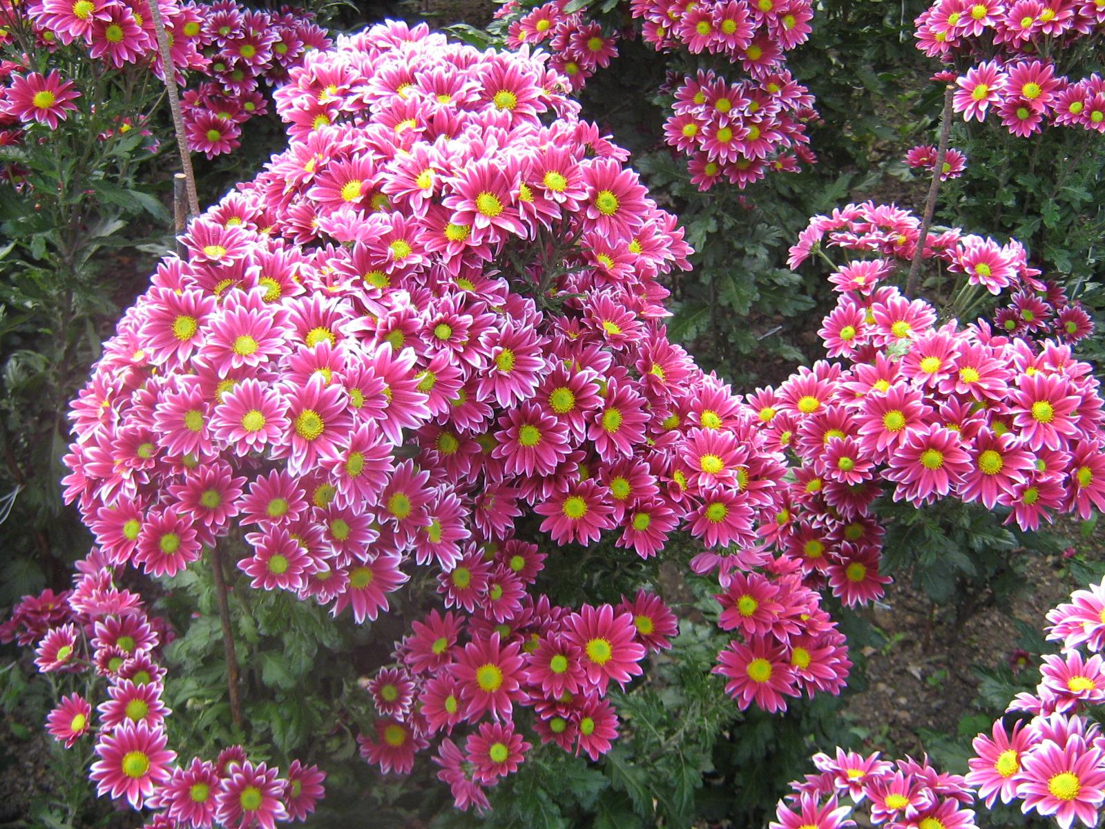 Хризантемы фото цветов в саду