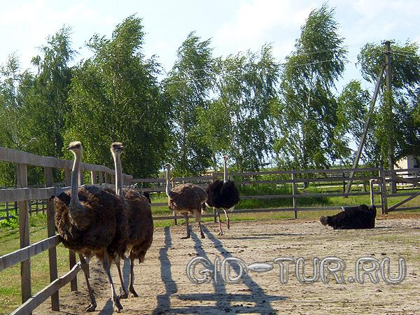 Экскурсия на страусиную ферму Киев. Страусиная ферма фото